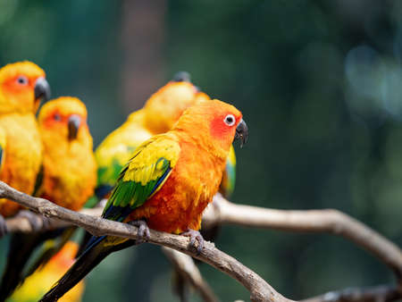 Closeup Sun Conure Parrot Perched on Branch Isolated on Background 版權商用圖片