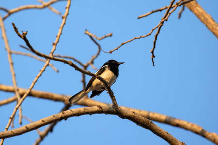 Close up Oriental Magpie Robin Perched on Branch Isolated on Blue Sky Фото со стока