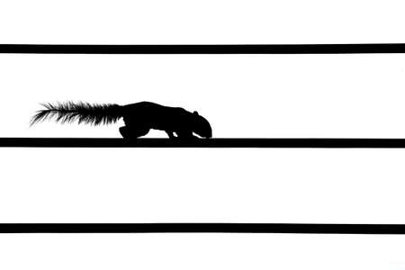 Silhouette Picture of Squirrel on Electric Wire Isolated on White Background