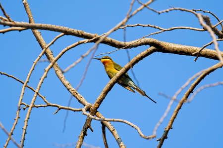 Close up Blue-Tailed Bee-Eater Bird or Merops Philippinus Perched on Tree Branch Isolated on Blue Sky Фото со стока