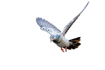 Movement Scene of Rock Pigeon Flying in The Air Isolated on White Background
