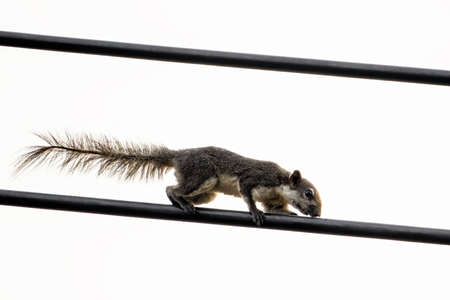 Close up Squirrel on Electric Wire Isolated on Clear Sky Фото со стока - 163585039