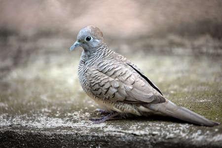 Close up Zebra Dove was Standing on The Ground Фото со стока - 163585038
