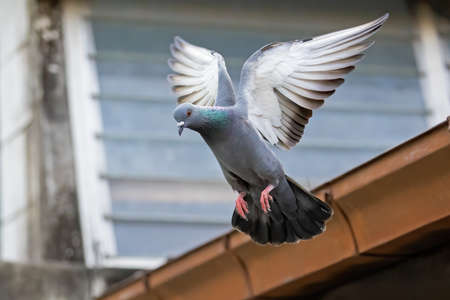 Movement Scene of Rock Pigeon Flying in The Air Isolated on Background Фото со стока - 163585041