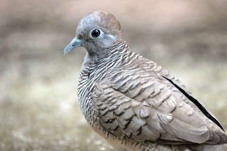 Close up Zebra Dove was Standing on The Ground Фото со стока