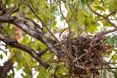 Close up Squirrel was Returned to The Nest