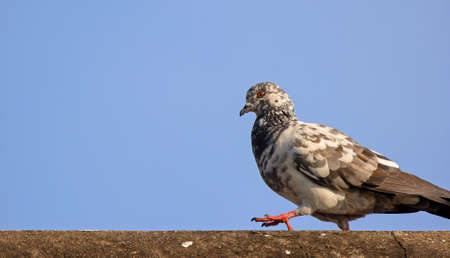 Close up Rock Pigeon Walking on The Roof Isolated on Blue Sky Фото со стока