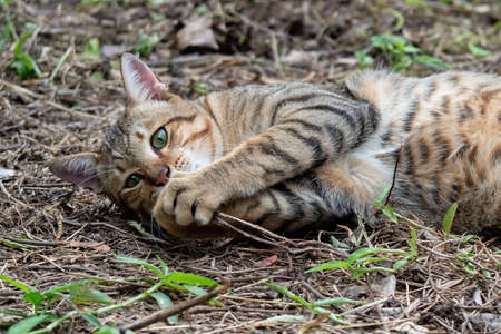 Close up Tabby Cat was Lying Down on The Ground Фото со стока
