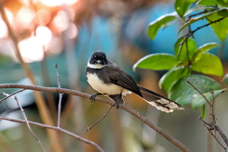 Close up Malaysian Pied Fantail Perched on Branch