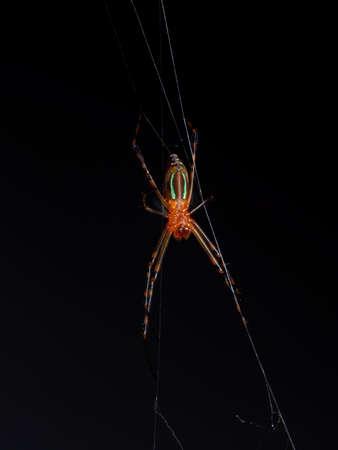 Macro Photography of Orange Spider on The Web Isolated on Black Background