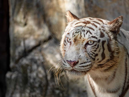 Close up Head of White Bengal Tiger Staring Isolated on Background Фото со стока