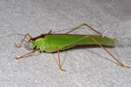 Macro Photography of Green Grasshopper on The Floor Фото со стока - 165271466