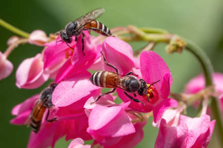 Close up Honey Bee Collecting Nectar from Pink Flower Фото со стока