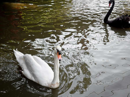 Close up White Swan Floating in a Pond Фото со стока