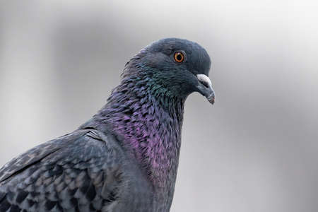 Close up Rock Pigeon Isolated on Gray Background