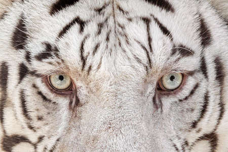 Close up Eyes of White Bengal Tiger was Staring Фото со стока