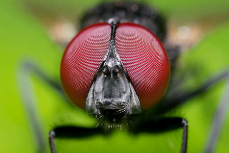 Macro Photography of Head of Black Blowfly on Green Leaf Фото со стока - 165992891