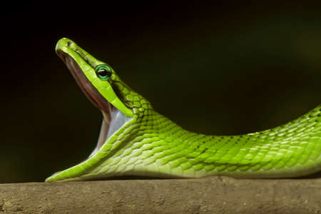 Close up Red-Tailed Green Ratsnake Yawning Isolated on Nature Background