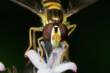 Macro Photography of Hoverfly Sucking Nectar from Flower Isolated on Background Фото со стока - 166342864
