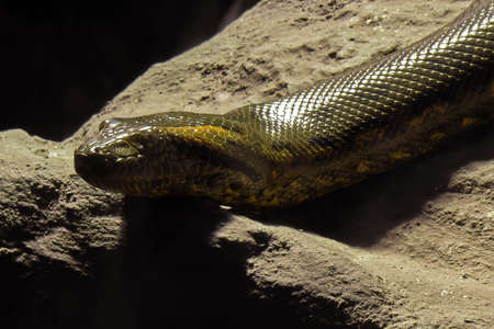 Close up Head of Green Anaconda was Coiled on The Rock Фото со стока