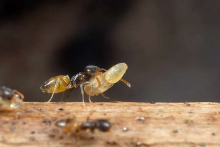 Macro Photography of Tiny Ant was Carrying Pupae while Running on Stick