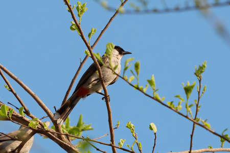 Close up Sooty-Headed Bulbul Bird Perched on Branch Isolated on Blue Sky