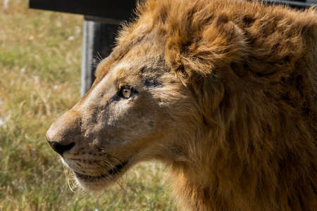 Close up Head of Male Lion was Walking on The Field Фото со стока