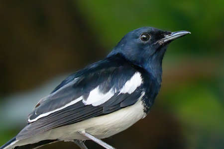 Close up Oriental Magpie Robin Isolated on Background Фото со стока