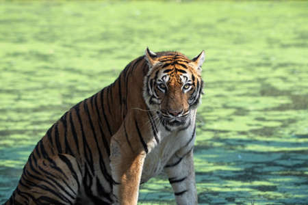 Close up Bengal Tiger Isolated on Colorful Background