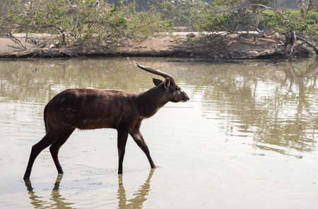 Close up Male Nyala was Walking in a Swamp