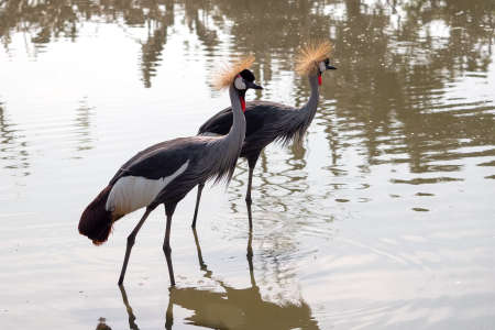 Close up Two Grey Crowned Crane Walking in The Swamp Фото со стока