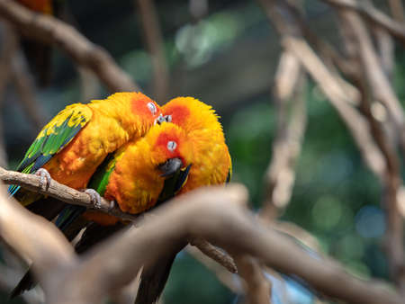 Close up Group of Sun Conure Parrot Perched on Branch Isolated on Background Фото со стока