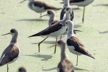 Close up Group of Black Winged Stilt Standing in The Swamp