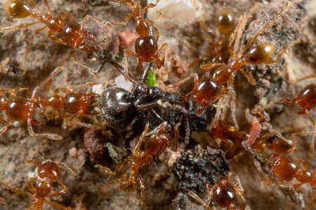 Macro Photography of Group of Pheidole Pallidula Ants Attack Prey Фото со стока