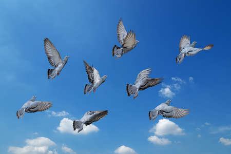 Movement Scene of Group of Rock Pigeons Flying in The Air Isolated on Blue Sky Фото со стока