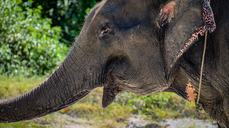 asian elephant: Asian elephant head with stetched snout from side open his mouth