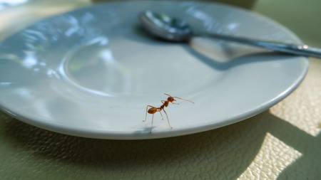 A big red ant exploring the empty dish in a restaurant Stock Photo