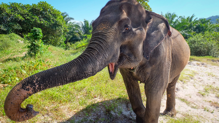 trumpets: Elephant shows his snout and trumpets
