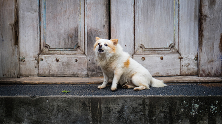 observer: Pomeranian dog sitting in front of a wood door, guarding a house with loud barking at his observer