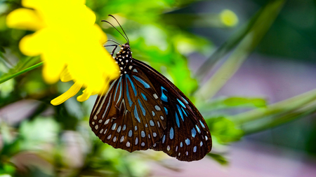 butterflies nectar: Black butterfly with blue colored elements sitting on a flower and using his bulb for drink nectar