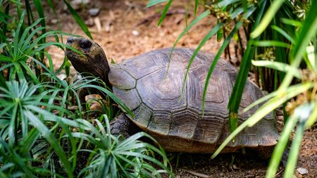 medium size: Medium size turtle sitting between plants watching his observer from side Stock Photo