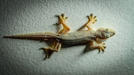 crouch: Yellow colored gecko sitting on a white wall in the middle of a white spot