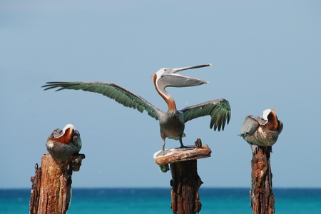 wing span: The singing pelican hamming it up for the camera.  This pelican was sited off the coast of Aruba. Stock Photo