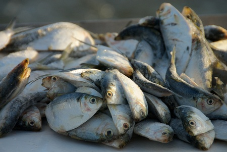 dead fish: Herring Bait Stock Photo