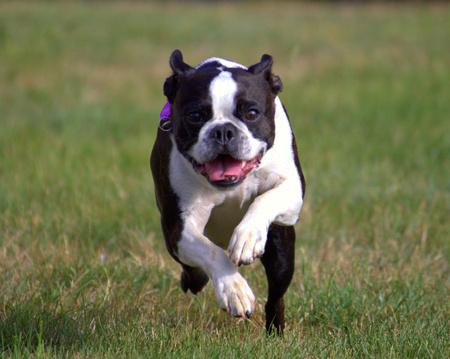 boston terrier: Boston Terrier Running