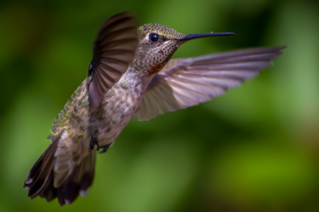 ruby throated: Hummingbird in Flight