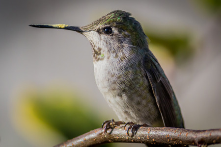 ruby throated: Hummingbird