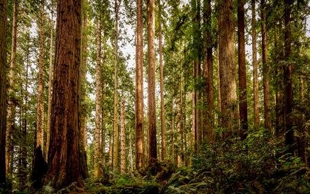 Redwood forêt Banque d'images - 39223148