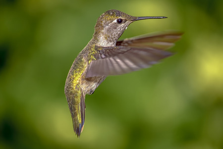 Color image of a hummingbird in flight