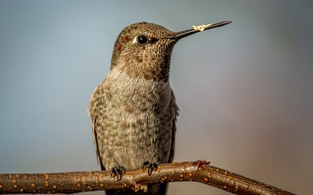 ruby throated: Hummingbird Perched on a Branch Color image Northern California USA. Stock Photo